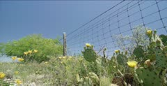 Prickly Pear blooming along barbed wire fence