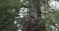 great gray owl female and chicks in nest