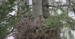 2 great gray owl chicks in nest