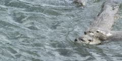 river otters playing in lake