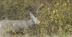 male mule deer attacking bush - displaced aggression