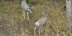 mule deer fighting