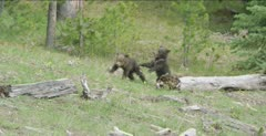 grizzly cubs playing, sow eating