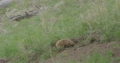 badger sneaking out of old red fox den to look for vixen before it goes to new one where 2 kits are