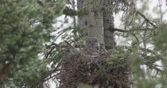 female great gray owl in nest