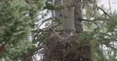 mama great gray owl in nest