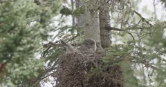 mama great gray owl in nest with babies