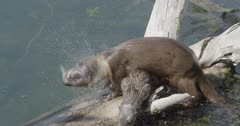 otter family playing in the water, baby and mom come out on to a log