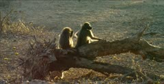 chacma baboons 2 backlit on log