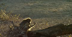 chacma baboons 2 grooming backlit on log