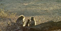 chacma baboons 2 backlit on log, 1 grooming, baby climbs up