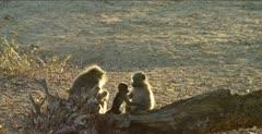 chacma baboons 2 backlit on log, 1 grooming, baby climbs up