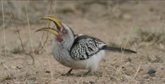 Southern yellow-billed hornbill, 1 eating