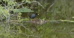 black crake eating, flipping tail