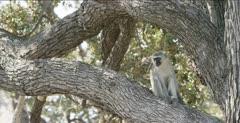 vervet monkey on big tree branch looking around