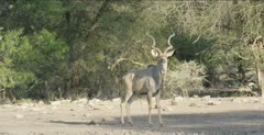 2 male kudu, walking to waterhole, 1 has only 1 horn, there are 2 male lions sleeping nearby
