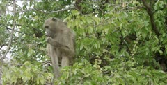 young chacma baboon eating mopani leaves