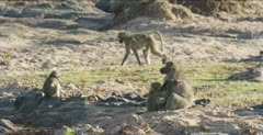 chacma baboons 1 picking fleas off another