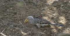 Southern yellow-billed hornbill, foraging on the ground, flies after squirrel scares it