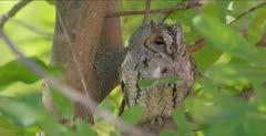African scops owl sleeping, opens eye