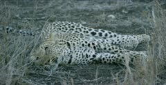 female leopard gives up stalking an impala