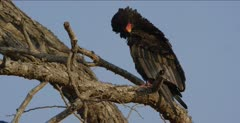 sitting in tree, preening a little, looking