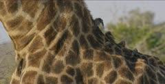 oxpeckers on giraffe's head