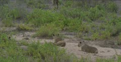 1 female walking away, 1 female looking, the other starts to follow the first one and a cub comes out of the bushes