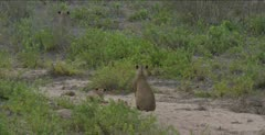 several cubs come out of the bushes and starts following first female