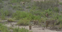 5 cubs and a second female start following the first one
