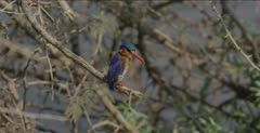 perching in a bush looking for a fish, leaves, comes back wet, swallows fish