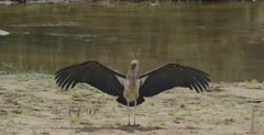 1 with wings out along the Sabie River