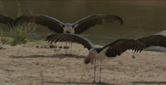 with wings out along the Sabie River, close