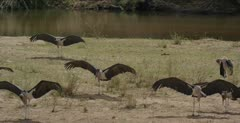 several with wings out along the Sabie River, close