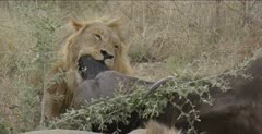 male lion suffocating male cape buffalo while female and cubs eat at other end