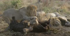 lion family most in meat coma around buffalo, male turns carcass over to keep carcass between him and us