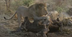 lion family most in meat coma around buffalo, male turns carcass back over to keep carcass between him and us