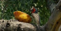 eating a papaya