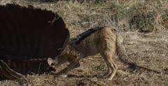at buffalo carcass
