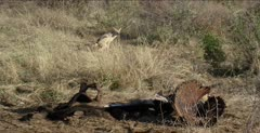 at cape buffalo carcass, just bones now