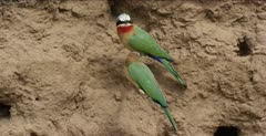 white-fronted bee-eater mated pair on stick, one goes to nest hole, then comes back to stick