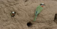white-fronted bee-eater mated pair on clay and at nest hole