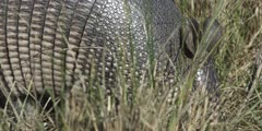 Nine banded Armadillo rooting for invertebrates