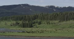 Wide shot of bison in Lamar Valley and Lamar River, Yellowstone National Park