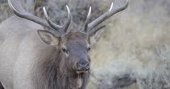 Yellowstone Bull Elk in Rut