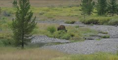 Bison on the upper Soda Butte Creek
