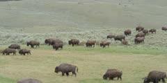 Bison Herd Walking in Lamar Valley