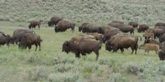 Bison Herd Walking on Healthy Grass