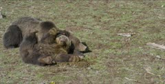 Grizzly bear yearling and mom sliding in bison feces