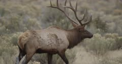 large male Yellowstone elk in rut looking, walking, bugling